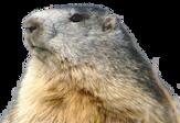 :marmot: