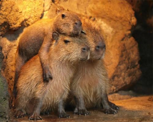 capybara wallpaper pool - photo #11