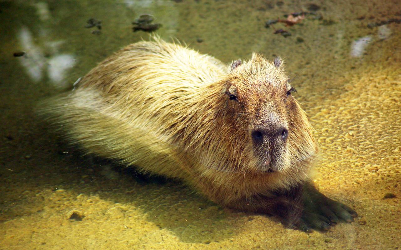 capybara wallpaper pool - photo #8